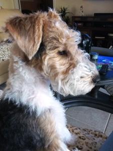 Thomas Terriers Wire Fox Terrier